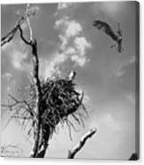 Osprey Nest Canvas Print