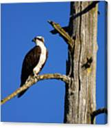 Osprey Nest Guard - 001 Canvas Print