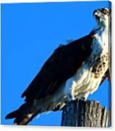 Osprey On A Pole Canvas Print