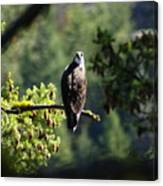 Osprey On Branch Canvas Print