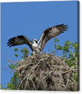 Osprey On Nest Wings Held High Canvas Print