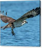 Osprey Ready For Fish Canvas Print