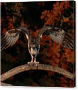 Osprey Ready For Take Off Canvas Print