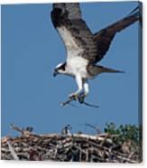 Osprey Returning Home Canvas Print