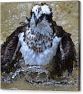 Osprey Splashing In Water Canvas Print