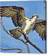Osprey Wing Stretch Canvas Print