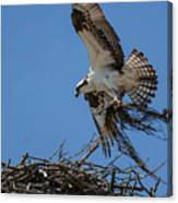 Osprey With Nesting Material 031620161567 Canvas Print