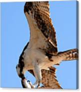 Osprey's Catch Canvas Print