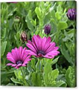 Osteospermum Flowers Canvas Print