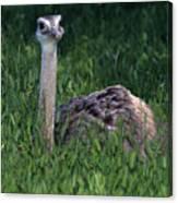 Ostrich Chick Canvas Print