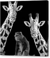Our Wise Little Friend - Monkey And Giraffes In Black And White Canvas Print