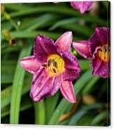 Purple Stella Doro Day Lily Canvas Print
