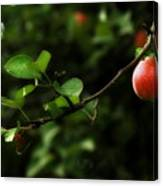 Out On A Limb  A Tempting Photograph Of A Tasty Ripe Red Apple On A Tree  Canvas Print
