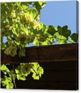 Overhead Grape Harvest - Summertime Dreaming Of Fine Wines Canvas Print