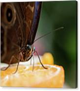 Owl Butterfly Feeding On An Orange Canvas Print
