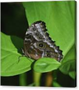 Owl Butterfly With Fantastic Distinctive Eyespots  Canvas Print