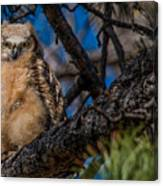 Owlet In A Fir Tree Canvas Print
