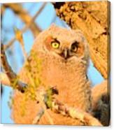 Owlet In A Spring Sunrise Canvas Print