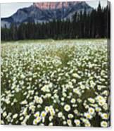 Ox-eyed Daisies And Cascade Mountain Canvas Print
