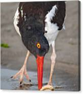 Oystercatcher Eating Clam Canvas Print