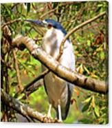 P2024983 Black Crowned Night Heron Canvas Print