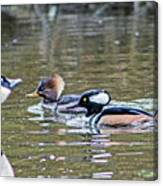 Pa And Ma Hooded Mergansers Canvas Print