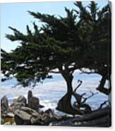 Pacific Cypress View Canvas Print