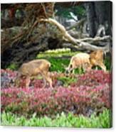 Pacific Grove Deer Feeding Canvas Print