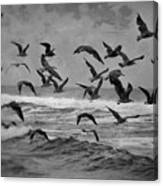 Pacific Gulls Canvas Print