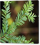 Pacific Yew Canvas Print