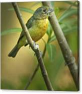 Painted Bunting Female Canvas Print