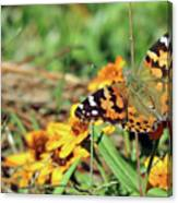 Painted Lady On Zinnia Canvas Print