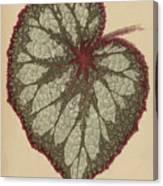 Painted Leaf Begonia Canvas Print