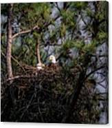 Pair Of Bald Eagles In Nest Canvas Print