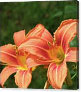 Pair Of Blooming Orange Lilies In A Garden Canvas Print
