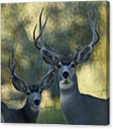 Pair Of Bucks Canvas Print