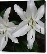 Pair Of Flowering White Stargazer Lilies In Bloom Canvas Print