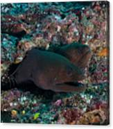 Pair Of Giant Moray Eels In Hole Canvas Print