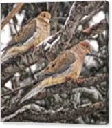 Pair Of Morning Doves Canvas Print