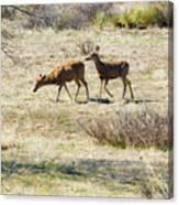 Pair Of Mule Deer Grazing At Chatfield Canvas Print
