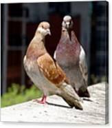 Pair Of Pigeons Canvas Print