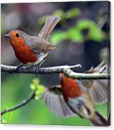 Pair Of Robins Canvas Print
