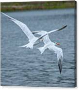 Pair Of Terns Canvas Print
