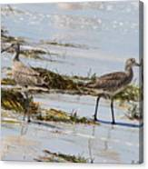 Pair Of Willets Canvas Print