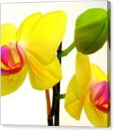 Pair Of Yellow Orchids Canvas Print