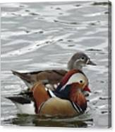 Paired Wood-ducks Canvas Print