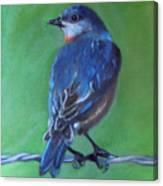 Pajarito Azul De Espaldas Canvas Print