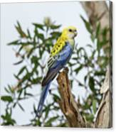 Pale-headed Rosella Canvas Print
