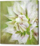 Pale Pink Clematis Canvas Print