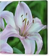 Pale Pink Stargazer Lillies II 2010 Canvas Print